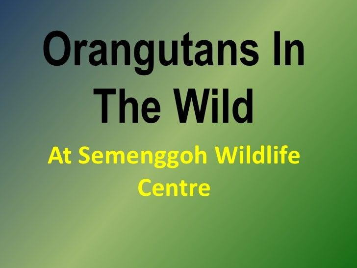 Orangutans In The Wild<br />At Semenggoh Wildlife Centre<br />