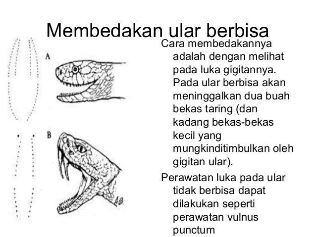 Membedakan ular berbisa dari gigitannya
