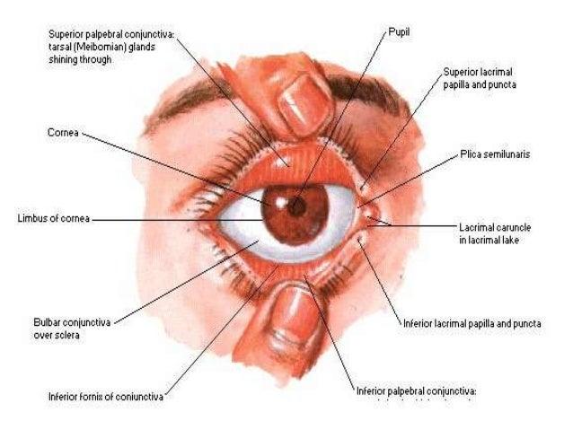 Eyelid Papillae Diagram Wiring Diagram