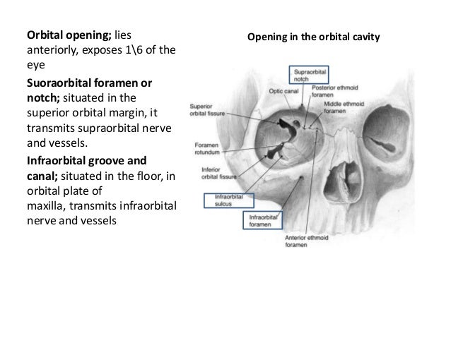 Orbit. anatomy power point presentation