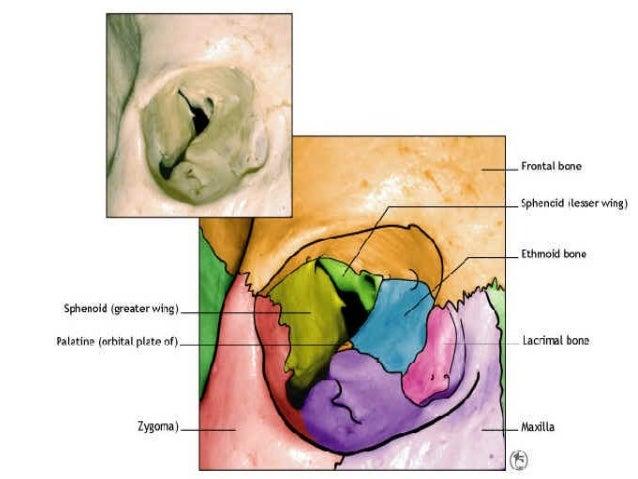 orbital fractures, Human Body