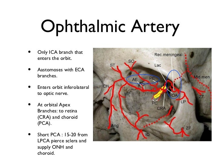 The gallery for --> Internal Carotid Artery Branches
