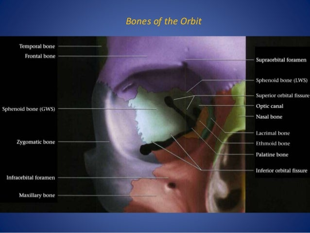 orbit imaging anatomy, Human Body