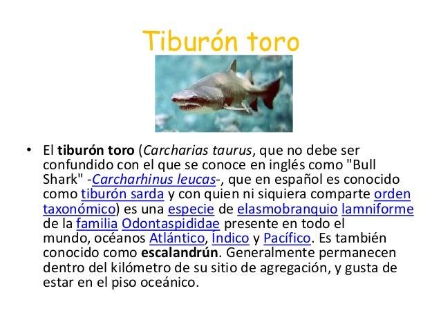 """Tiburón toro• El tiburón toro (Carcharias taurus, que no debe serconfundido con el que se conoce en inglés como """"BullShark..."""