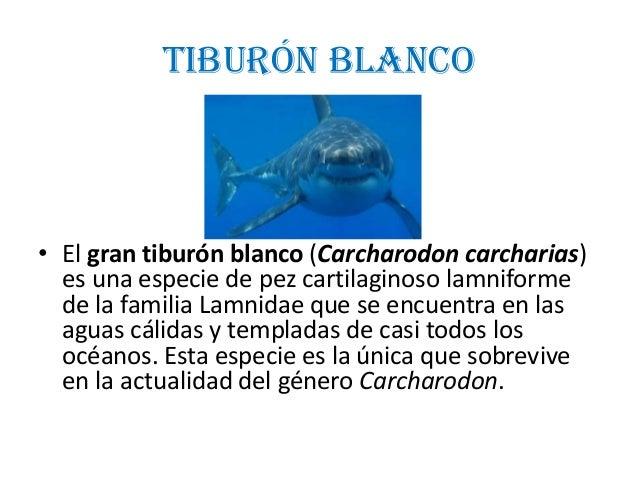 Tiburón blanco• El gran tiburón blanco (Carcharodon carcharias)es una especie de pez cartilaginoso lamniformede la familia...