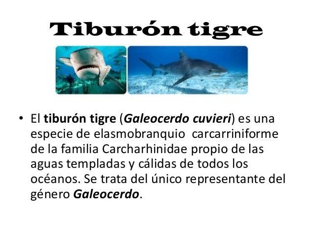 Tiburón tigre• El tiburón tigre (Galeocerdo cuvieri) es unaespecie de elasmobranquio carcarriniformede la familia Carcharh...