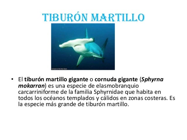 TIBURÓN MARTILLO• El tiburón martillo gigante o cornuda gigante (Sphyrnamokarran) es una especie de elasmobranquiocarcarri...