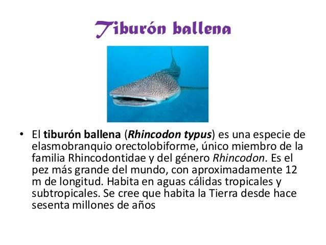 Tiburón ballena• El tiburón ballena (Rhincodon typus) es una especie deelasmobranquio orectolobiforme, único miembro de la...