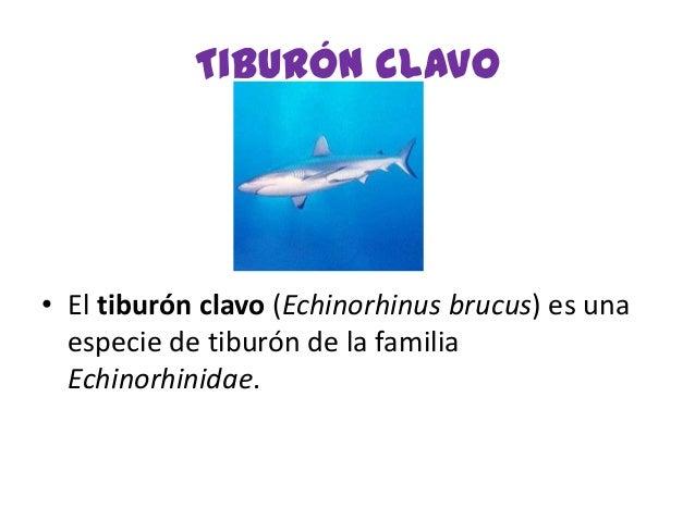 Tiburón clavo• El tiburón clavo (Echinorhinus brucus) es unaespecie de tiburón de la familiaEchinorhinidae.