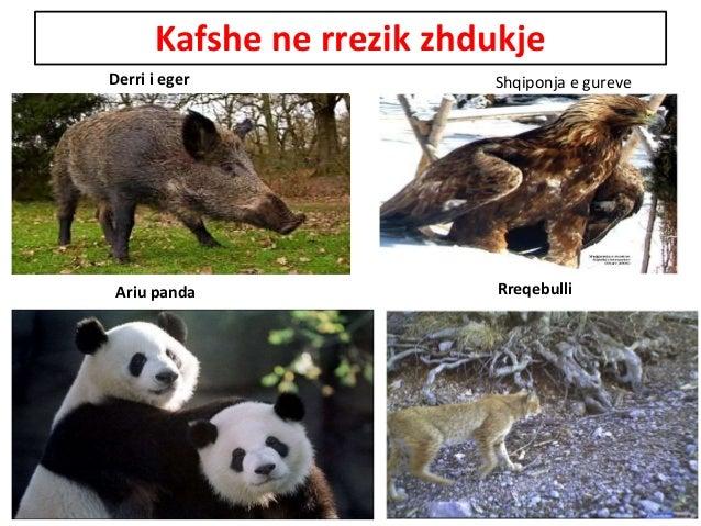 Kafshe ne rrezik zhdukje Derri i eger Shqiponja e gureve Ariu panda Rreqebulli