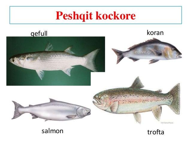 Peshqit kockore salmon qefull koran trofta