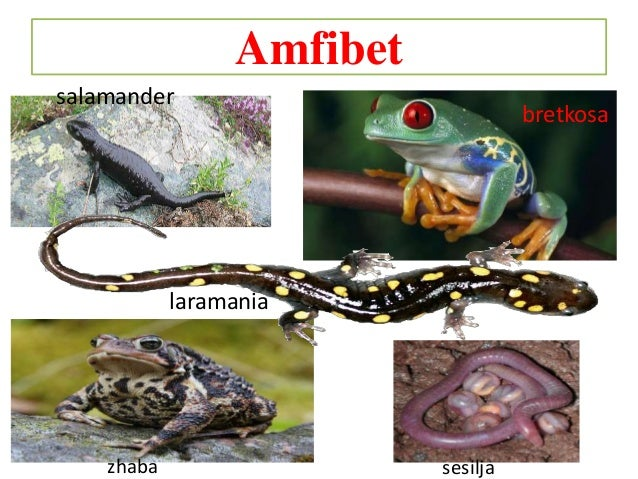 Amfibet salamander bretkosa laramania zhaba sesilja