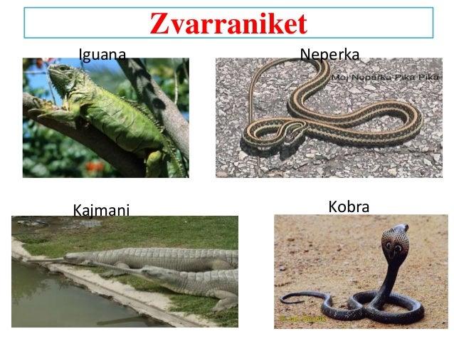 Zvarraniket Iguana Kajmani Kobra Neperka