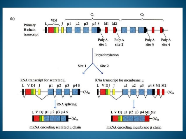 Immunoglobulin Genes
