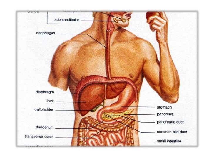 Stomach organ system choice image human anatomy organs diagram stomach organ system ccuart Gallery