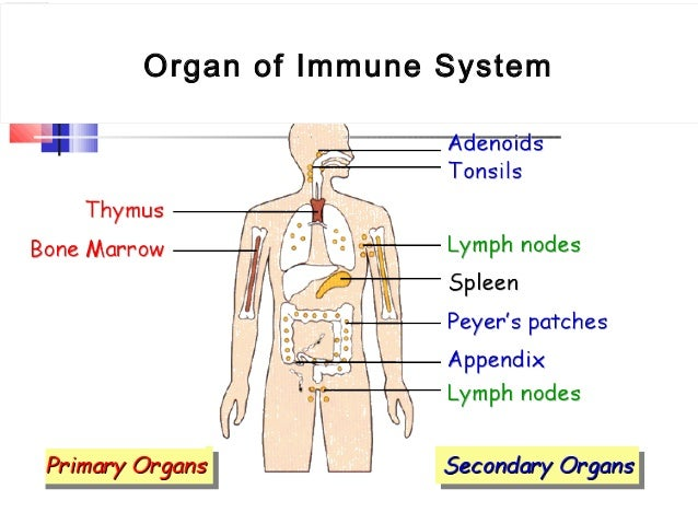 the human immune system The immune system is made up of specialized organs, cells, and tissues that all work together to destroy these invaders some of the main organs involved in the immune system include the spleen, lymph nodes, thymus, and bone marrow.