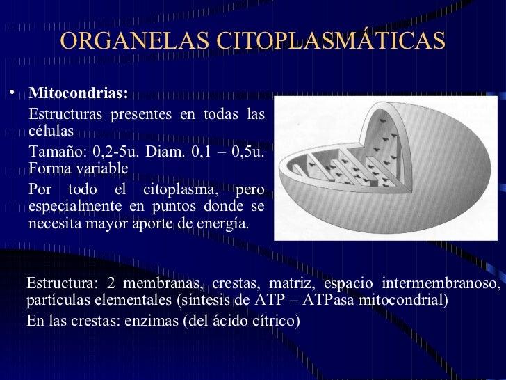 ORGANELAS CITOPLASMÁTICAS <ul><li>Mitocondrias:  </li></ul><ul><li>Estructuras presentes en todas las células </li></ul><u...