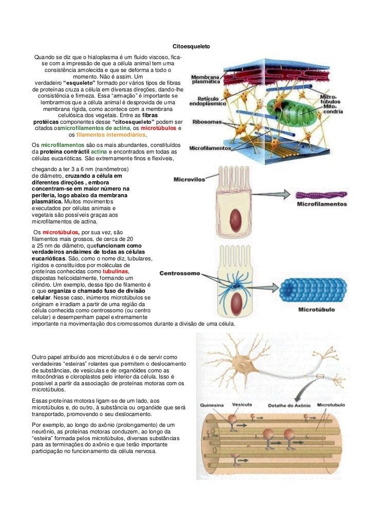 Citoesqueleto Quando se diz que o hialoplasma é um fluido viscoso, fica-     se com a impressão de que a célula animal tem...