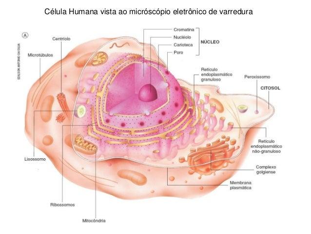 Célula Humana vista ao micróscópio eletrônico de varredura