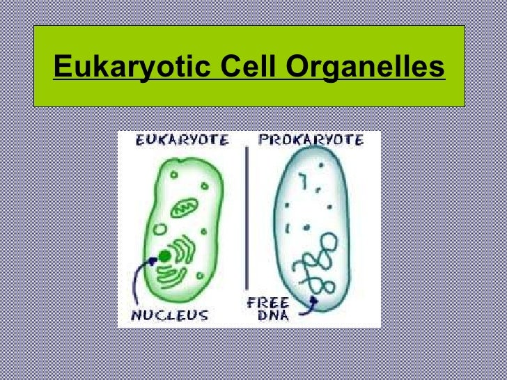 Eukaryotic Cell Organelles