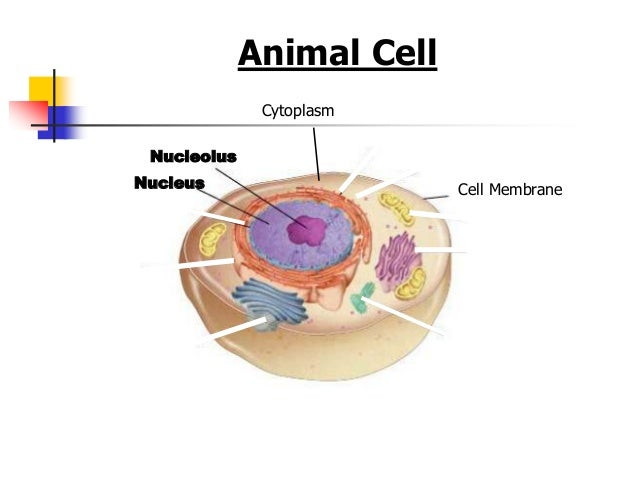 Animal and plant cell organelles cell structures functions and transport 2 ccuart Gallery
