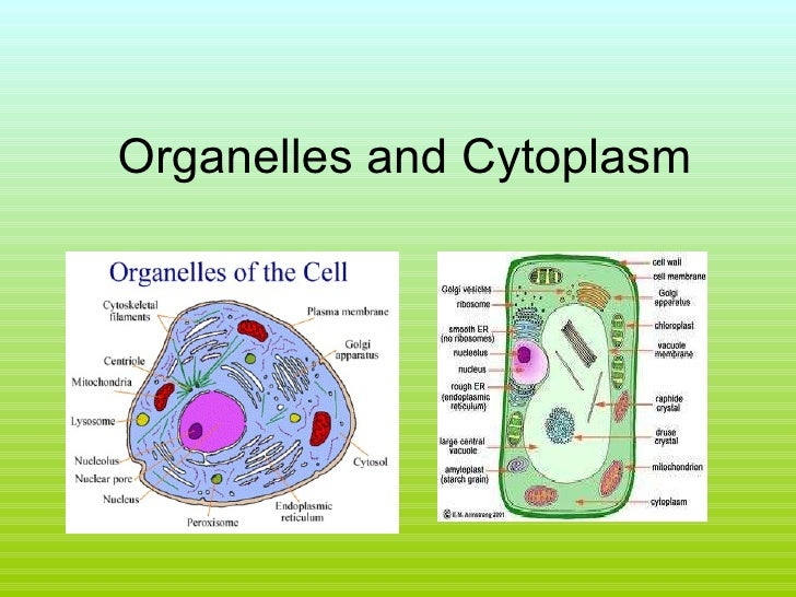 Organelles and Cytoplasm