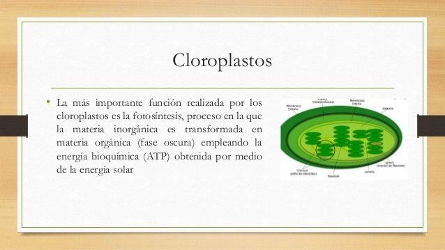 Cloroplastos • La más importante función realizada por los cloroplastos es la fotosíntesis, proceso en la que la materia i...