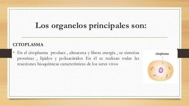 CITOSOL, HIALOPLASMA O MATRIZ CITOPLASMÁTICA • FUNCIÓN: Reserva de combustibles y de materiales de construcción de los dem...