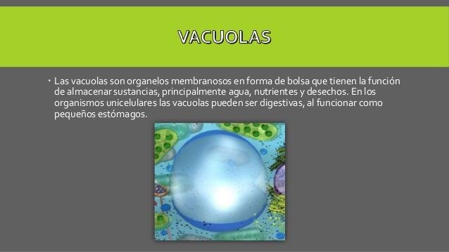  Las vacuolas son organelos membranosos en forma de bolsa que tienen la función de almacenar sustancias, principalmente a...