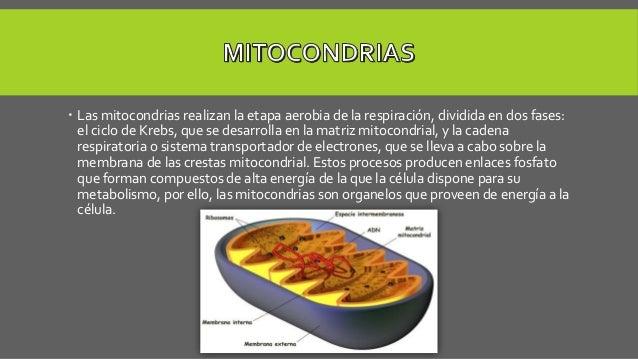  Las mitocondrias realizan la etapa aerobia de la respiración, dividida en dos fases: el ciclo de Krebs, que se desarroll...