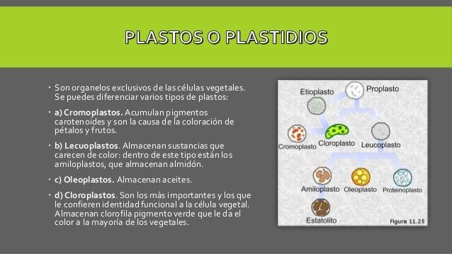  Son organelos exclusivos de las células vegetales. Se puedes diferenciar varios tipos de plastos:  a) Cromoplastos. Acu...