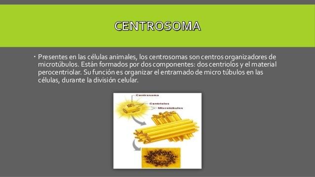  Presentes en las células animales, los centrosomas son centros organizadores de microtúbulos. Están formados por dos com...