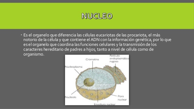 Es el organelo que diferencia las células eucariotas de las procariota, el más notorio de la célula y que contiene el AD...