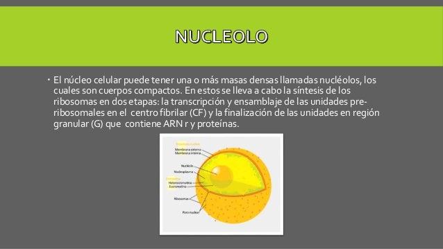  El núcleo celular puede tener una o más masas densas llamadas nucléolos, los cuales son cuerpos compactos. En estos se l...