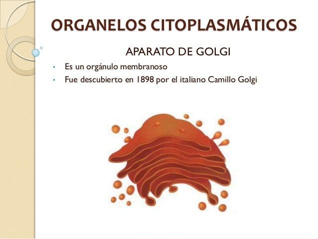 ORGANELOS CITOPLASMÁTICOS                    APARATO DE GOLGI•   Es un orgánulo membranoso•   Fue descubierto en 1898 por ...