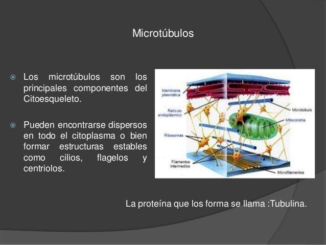 Organelos no membranosos Slide 3