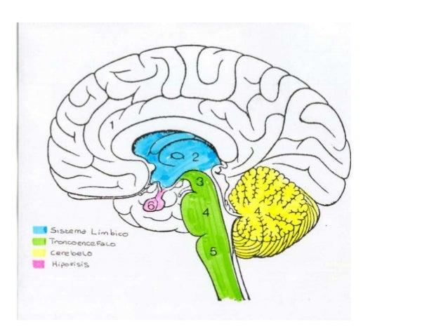 Organización General Del Sistema Nervioso Humano