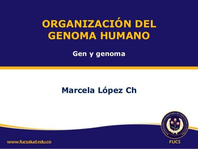 ORGANIZACIÓN DEL GENOMA HUMANO Gen y genoma  Marcela López Ch