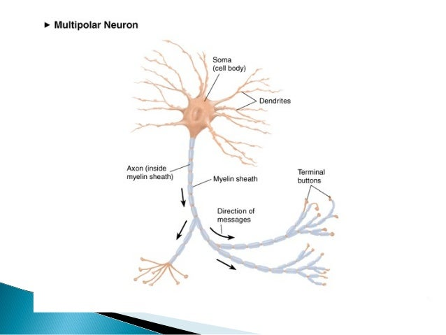 Organization and nerve cells