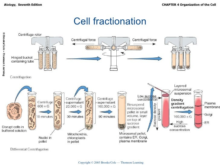 cellular fractionation experiment Work is to determine if standard cell fractionation by differential centrifugation and cytochemical tests are effective ways of isolating cellular organelles for future studies, including the interconversion between chloroplasts and amyloplasts.