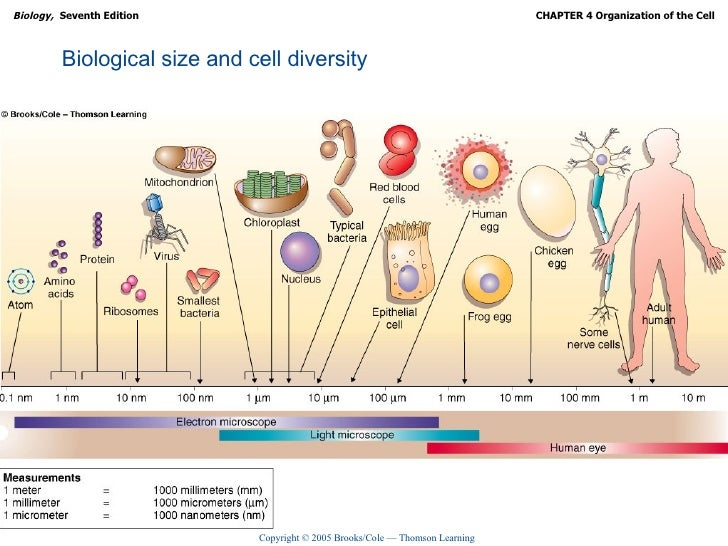 Organization Of The Cell Ch04 Lecture