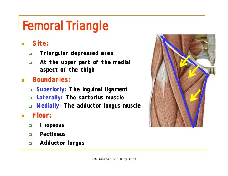 Organization Of The Ll Front And Medial Sides Of Thigh