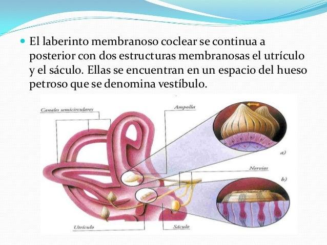  De este modo las frecuencias altas estimulan mejor la membrana basal que sostiene el órgano de Corti de la base de la có...