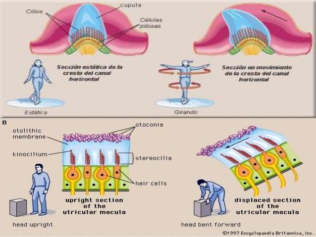  En el nervio auditivo existe también una tonotopia , en que las frecuencias agudas van por la periferia del nervio y las...