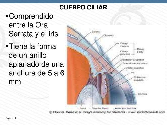 Organo de la_vision_-_anatomia