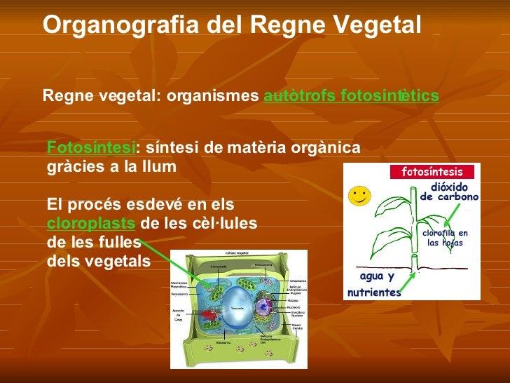 Organografia del Regne Vegetal Regne vegetal: organismes  autòtrofs fotosintètics Fotosíntesi : síntesi de matèria orgànic...