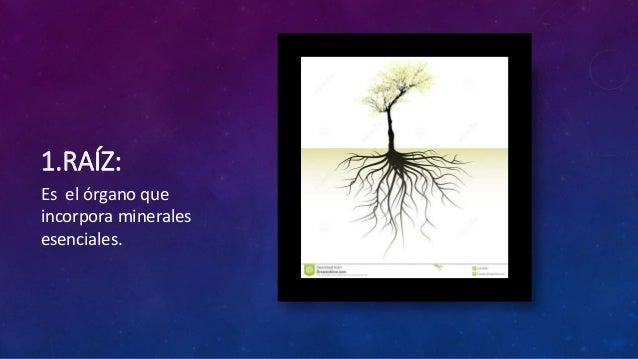 Organología vegetal Slide 2