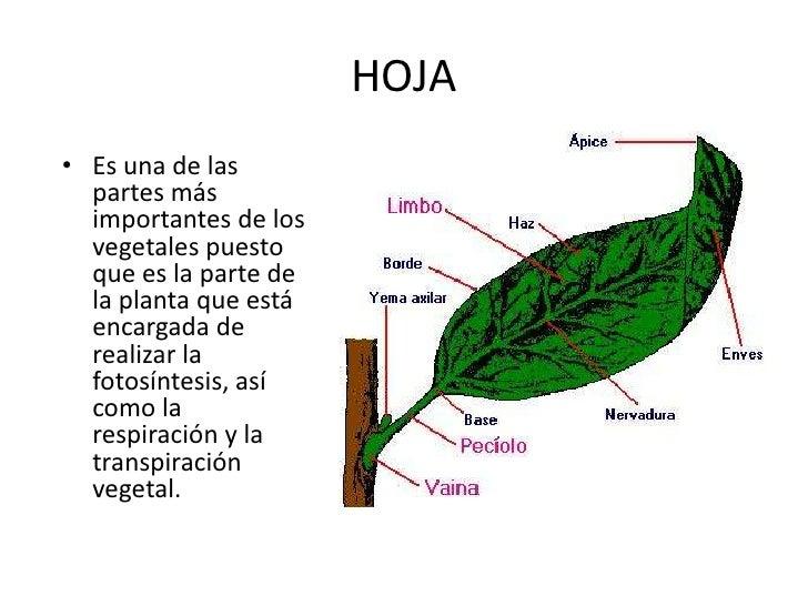 Organos de la planta for Funcion de las plantas ornamentales