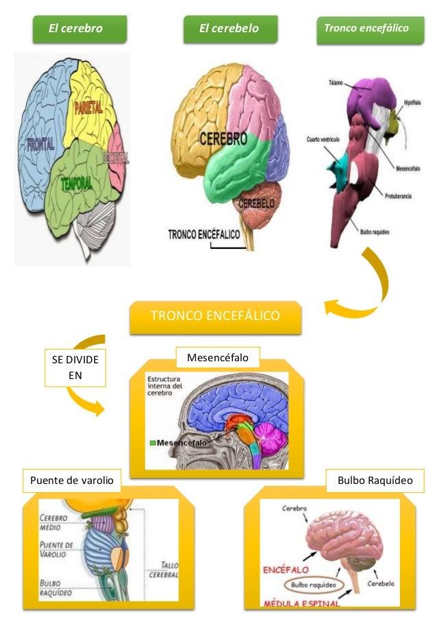Órganos que componen el Sistema Nervioso Central