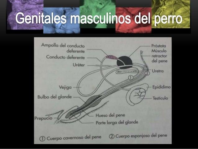 Órganos genitales del perro macho